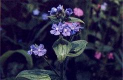 4月3日生日花:绿朱草 绿朱草花语