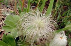 4月7日生日花:白頭翁 白頭翁花語