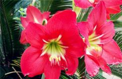 4月9日生日花:红水仙 红水仙花语
