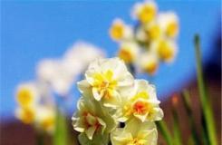 5月11日生日花:黃日光蘭 黃日光蘭花語