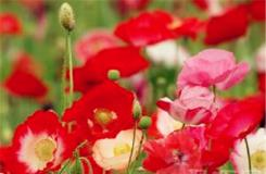5月17日生日花:角罂粟花 角罂粟花花语