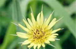 5月22日生日花:婆罗门菊 婆罗门菊花语