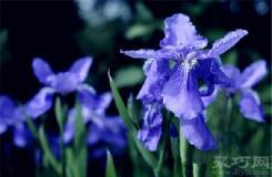 5月28日生日花:鸢尾花 鸢尾花花语