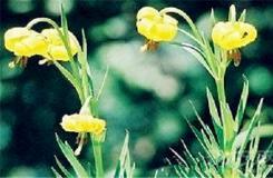 5月31日生日花:庇里牛斯百合 庇里牛斯百合花語
