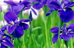 5月4日生日花:紫蘿蘭 紫蘿蘭花語