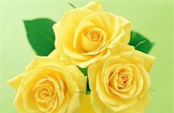 6月1日生日花:黃玫瑰 黃玫瑰花語