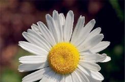 6月11日生日花:法蘭西菊 法蘭西菊花語