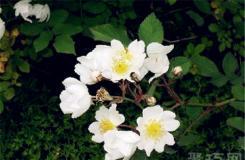 6月12日生日花:野蔷薇 野蔷薇花语