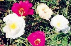 6月16日生日花:苔蘇玫瑰 苔蘇玫瑰花語