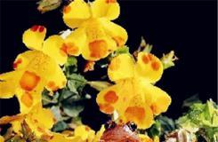 6月17日生日花:猿麝香 猿麝香花语
