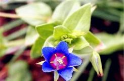 6月2日生日花:藍繁縷 藍繁縷花語
