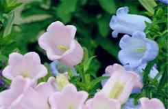 6月22日生日花:风铃草 风铃草花语