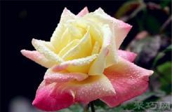 6月3日生日花:法戰玫瑰 法戰玫瑰花語