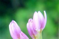 6月7日生日花:日本鬼燈檠 日本鬼燈檠花語