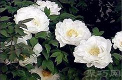 7月11日生日花:白蔓荷包牡丹 白蔓荷包牡丹花語