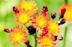7月19日生日花:橘色的山柳蘭 橘色的山柳蘭花語