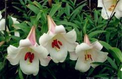 7月2日生日花:圣母百合花 圣母百合花花語