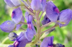 7月24日生日花:窄叶羽扇豆 窄叶羽扇豆花语