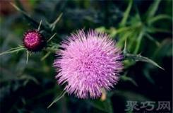 7月9日生日花:沼澤薊 沼澤薊花語