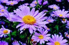 9月16日生日花:紫苑 紫苑花語