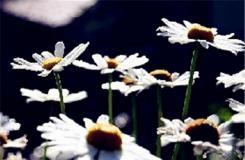 9月23日生日花:法国菊 法国菊花语