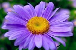 9月27日生日花:紫苑花 紫苑花花语