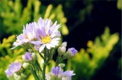 9月3日生日花:紫苑 紫苑花語