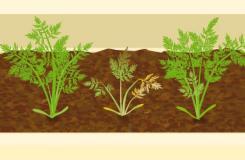 保護胡蘿卜免于疾病的技巧 陽臺蔬菜種植技術