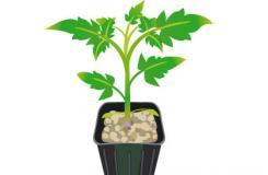 ��_菜�@如何栽培番茄 番茄幼苗�N植方法