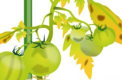 種植西紅柿常見的三種疾病 預防西紅柿病措施