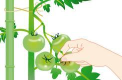 西紅柿生長期的日常管理注意事項 種植番茄打理方法