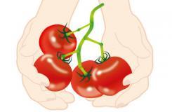 盆栽西�t柿的日常管理 �N植番茄技�g