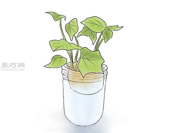 怎么培育红薯幼苗 6