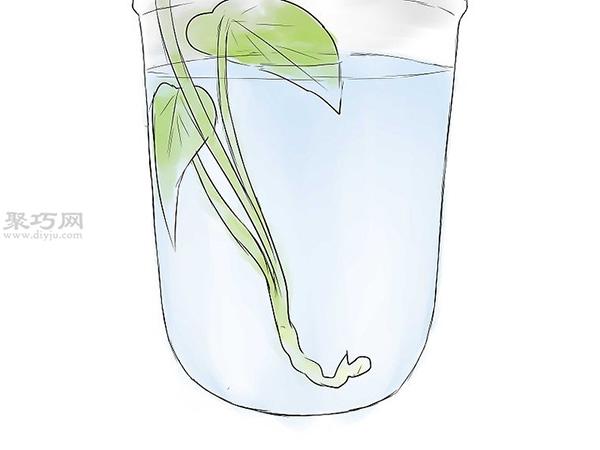 怎么培育红薯幼苗 8