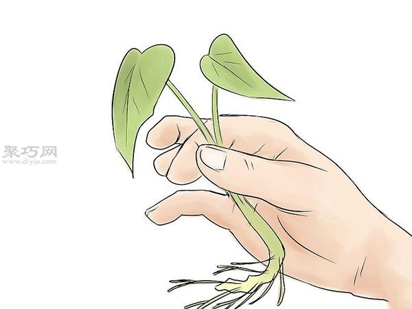 怎么培育红薯幼苗 9