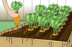 栽种胡萝卜图解教程 如何栽种胡萝卜