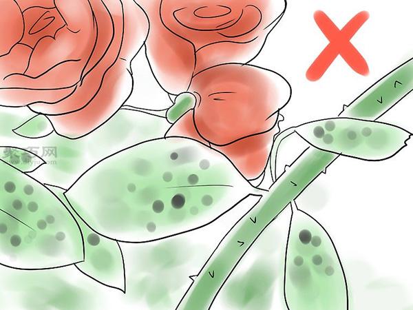 种植玫瑰花教程图解 15