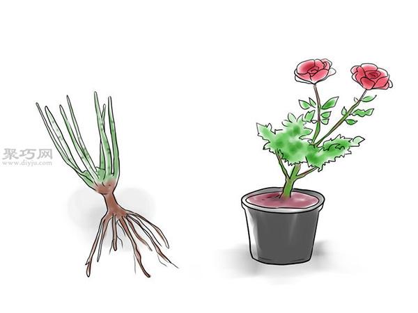 种植玫瑰花教程图解 2