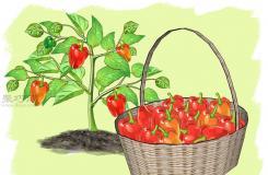 如何种辣椒 一起学种植辣椒教程