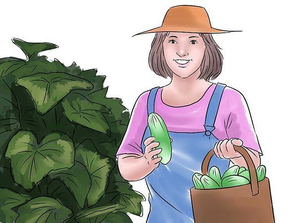 种黄瓜图片教程 16