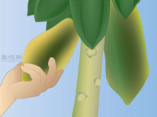 怎样照料木瓜树 12