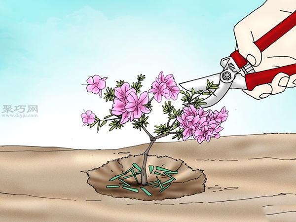 栽种杜鹃花教程图解 10