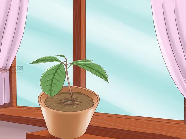 栽种鳄梨步骤 10