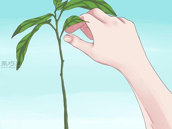 栽种鳄梨步骤 11