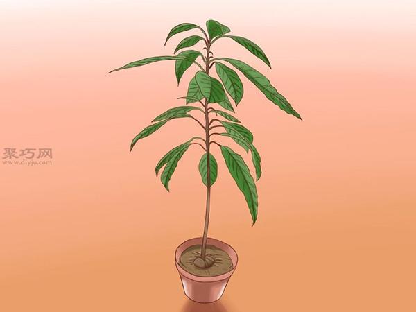 栽种鳄梨步骤 12