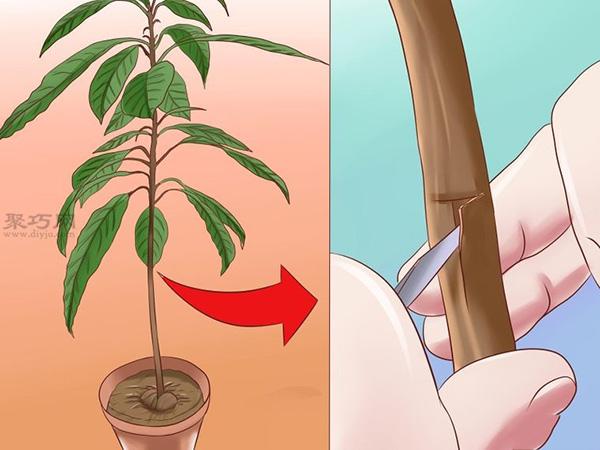 栽种鳄梨步骤 13