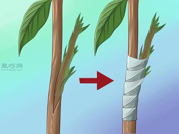 栽种鳄梨步骤 15