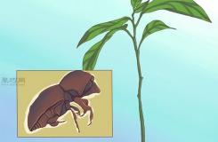 栽种鳄梨步骤 怎样栽种鳄梨