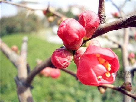 海棠花图片及海棠花花语是什么?