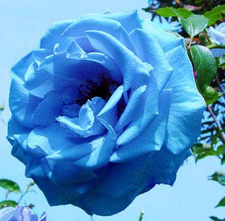 蓝色妖姬的花语是什么?单枝